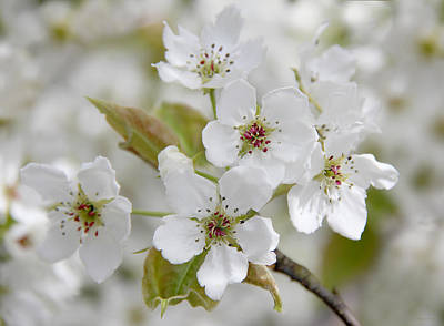 Photograph - Pear Tree White Flower Blossoms by Jennie Marie Schell