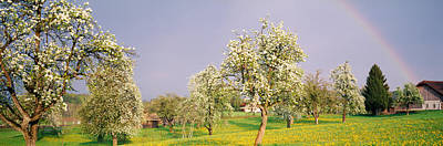 Pear Tree Photograph - Pear Trees In A Field Pyrus Communis by Panoramic Images