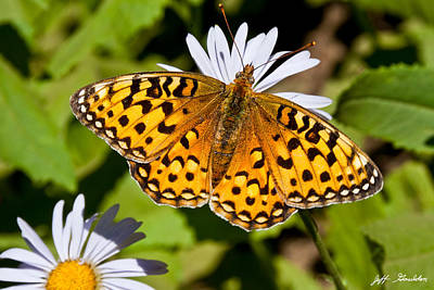 Art Print featuring the photograph Pearl Border Fritillary Butterfly On An Aster Bloom by Jeff Goulden