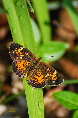 Photograph - Pearl Crescent Butterfly by Christina Rollo