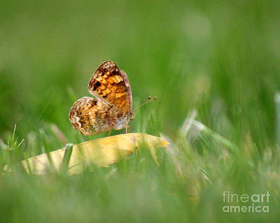 Pearl Crescent Photograph - Pearl Crescent Butterfly In Grass by Karen Adams