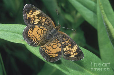 Pearl Crescent Photograph - Pearl Crescent Butterfly by Larry West