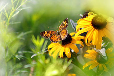 Pearl Crescent Photograph - Pearl Crescent Butterfly On Black Eyed Susan by Karen Adams