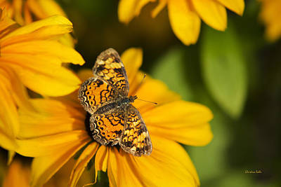 Photograph - Orange Crescent Butterfly by Christina Rollo