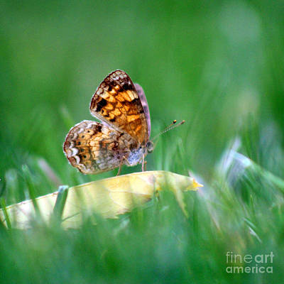 Pearl Crescent Photograph - Pearl Crescent Butterfly Square Grass by Karen Adams