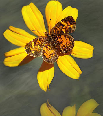 Pearl Crescent Photograph - Pearl Crescent Butterfly Up Close by Thomas Young