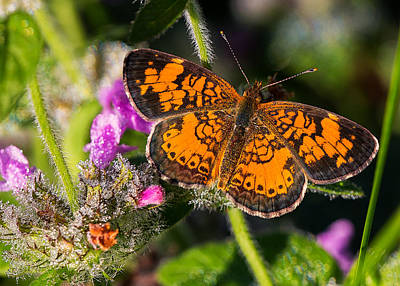 Pearl Crescent Photograph - Pearl Crescent Note Card by Everet Regal