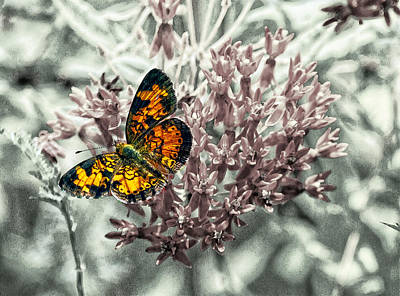 Pearl Crescent Photograph - Pearl Crescent  On Butterfly Weed by Constantine Gregory