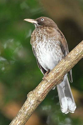 Photograph - Pearly-eyed Thrasher by Alan Lenk