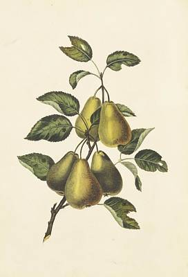 Pyrus Communis Photograph - Pears, 19th Century by Science Photo Library