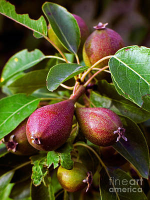 Pyrus Communis Photograph - Pears by Tim Holt