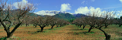 Pecan Trees, Ojai, California Art Print by Panoramic Images