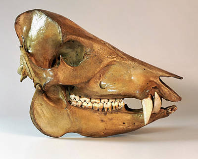 Pig Photograph - Peccary Skull by Ucl, Grant Museum Of Zoology