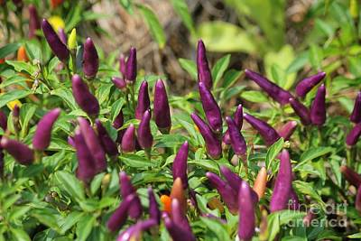 Photograph - Peck Of Purple Peppers by Theresa Willingham