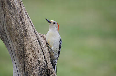 Photograph - Pecker by Heather Applegate