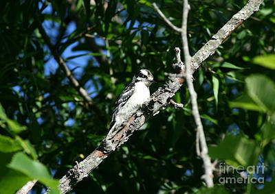 Woodpecker Photograph - Pecking Pause  by Neal Eslinger