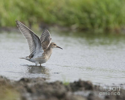 Photograph - Pectoral Sandpiper by Tony Mills