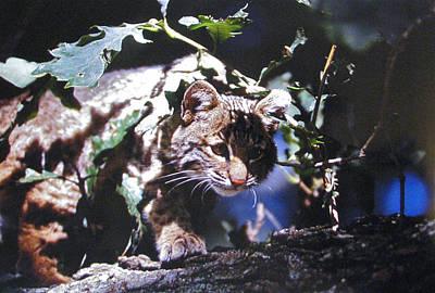 Peek A Boo Bobcat Original by Steve Seymour