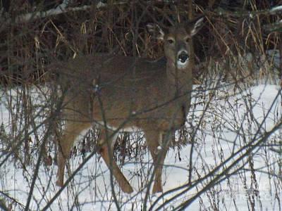Photograph - Peek A Boo Deer by Brenda Brown