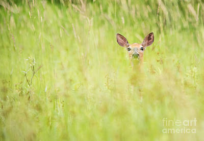 Photograph - Peek A Boo Deer by Cheryl Baxter