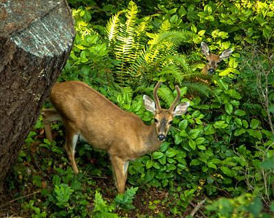 Photograph - Peek A Boo Deer by Marilyn Wilson