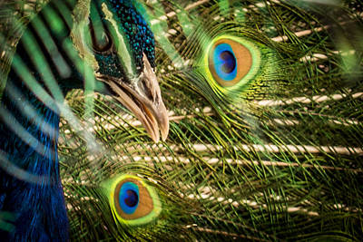 Photograph - Peek-a-boo Peacock by Ernie Echols