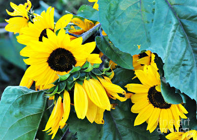 Photograph - Peek A Boo Sunflowers by Mindy Bench