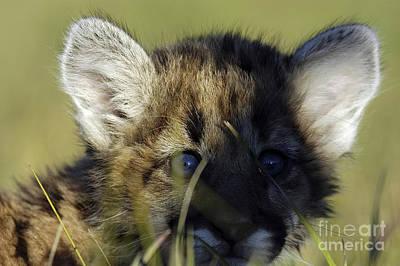 Lion Photograph - Peeka Boo by Wildlife Fine Art