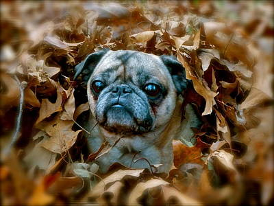 Photograph - Peeking Pug by Jean Wright