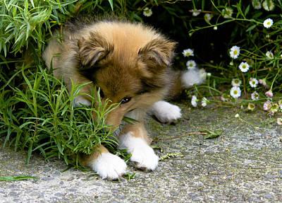 Miniature Collie Photograph - Peeking Puppy by Shivonne Ross