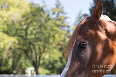 Horse Eye Photograph - Peeking by Rebecca Cozart