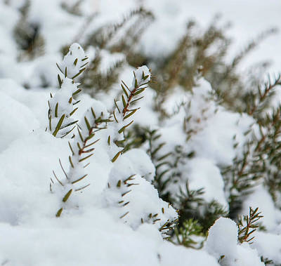 Photograph - Peeking Through The Snow by Jane Luxton