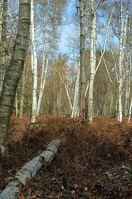 Photograph - Peering Into The Birches - Marion Brooks Natural Area by Joel E Blyler