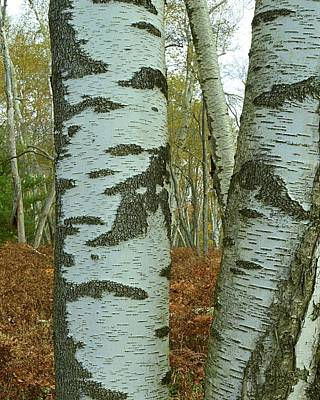 Photograph - Peering Through The Birches - Marion Brooks Natural Area by Joel E Blyler