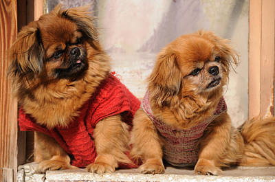 Art Print featuring the photograph Pekingese Pair by Jeremy Voisey