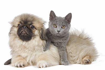 Chartreux Wall Art - Photograph - Pekingese Puppy And Kitten by Jean-Michel Labat
