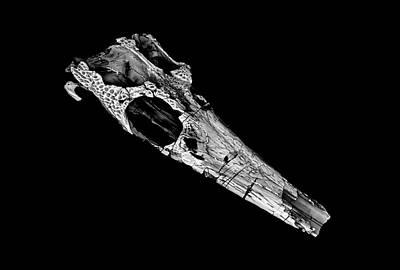 Pelagosaurus Skull Art Print by Dan Sykes/natural History Museum, London