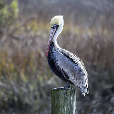 Photograph - Pelican 04-b by Jim Dollar