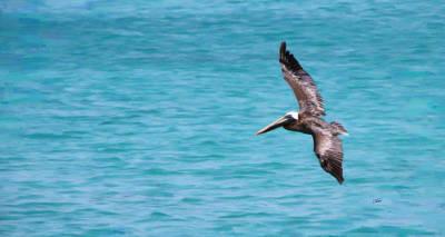 Pelikan Painting - Pelican 2601 by Dean Wittle