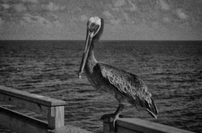 Pelican 3 Art Print by J Riley Johnson