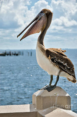 Pelican Print by Amy Cicconi
