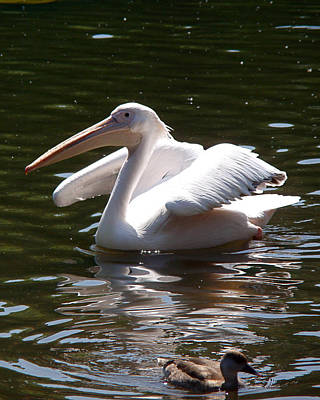 White Pelicans Photograph - Pelican And Friend by Rona Black