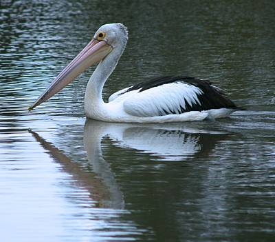 Photograph - Pelican And Reflection by Phoenix De Vries