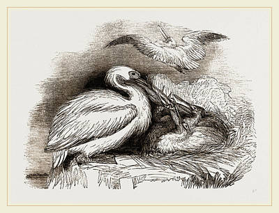 Pelican Drawing - Pelican And Young by Litz Collection