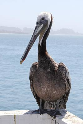 Photograph - Pelican by Anthony Trillo