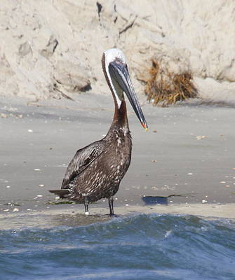 Brown Pelican Photograph - Pelican At Bird Island 2 by Cathy Lindsey
