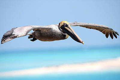 Pelican At Dry Tortugas National Park Print by Jetson Nguyen