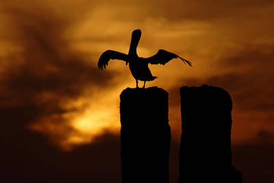 Photograph - Pelican At Sunset On Gandyhenge by Daniel Woodrum