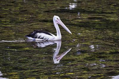 Photograph - Pelican - Australia by Steven Ralser