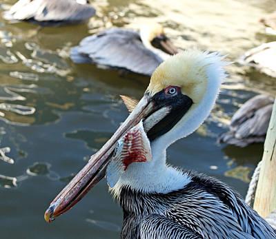 Photograph - Pelican Bait 3 by Carmen Del Valle